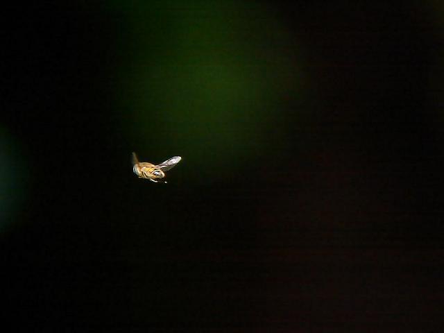蜜蜂:クリックして大きな画像でご覧下さい